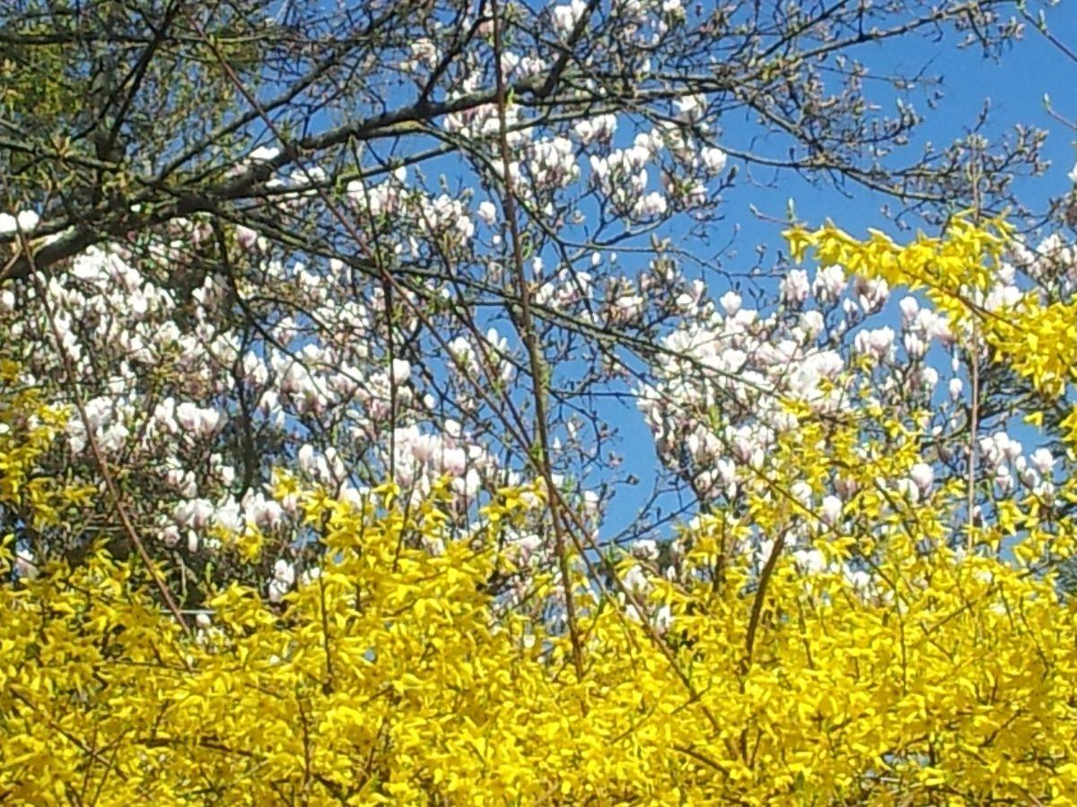 Magnolien, Forsythien und strahlend blauer Himmel