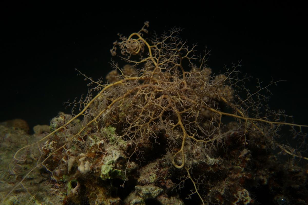 Gorgonenhaupt beim Nachttauchgang
